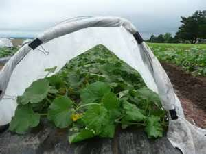 squash in hoop house
