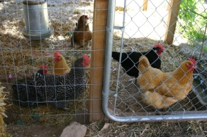 Start Your Backyard Chickens | Home Grown New Mexico