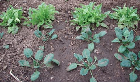 coldframe crops