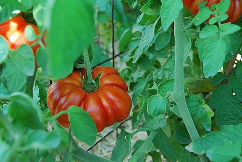 Tomato_costuluto genevese