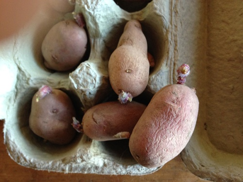 chitting potatoes_closeup