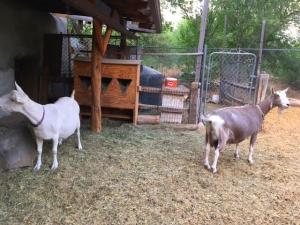 Tres Placitas_goats