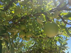 annies apple tree