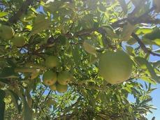annies apple tree