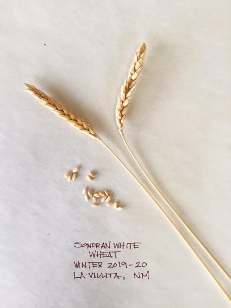 sonoran-white-wheat